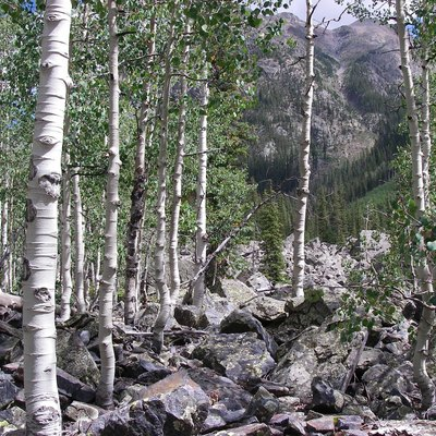Aspen in the Weminuche Wilderness.