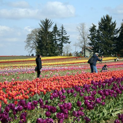 Tulips fields in full bloom on Earth Day, 2011, in Oregon's Willamette Valley.