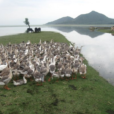 Domesticated cows & geese on the bank of Wular Lake.