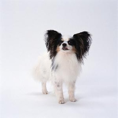 All purebred dogs, papillons included, have genetic conditions they are prone to.
