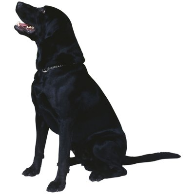 A trained Labrador is an excellent companion animal.