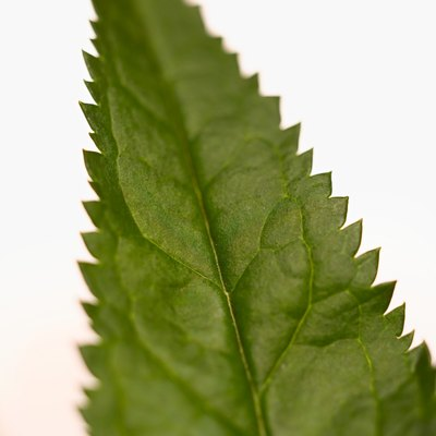 Compounds in the nettle plant may offer relief from allergy symptoms.