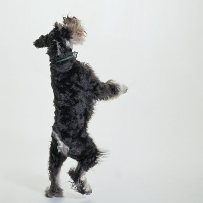 Miniature schnauzers are generally bold, friendly animals.