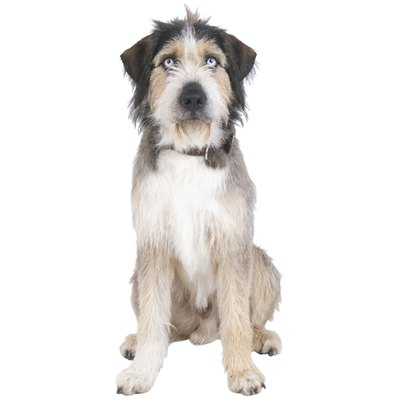 Seborrhea is usually the cause of your pooch's greasy, thinning coat.