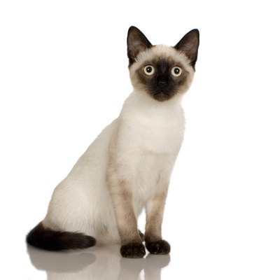Siamese cats are born white and develop darker colors as they mature.