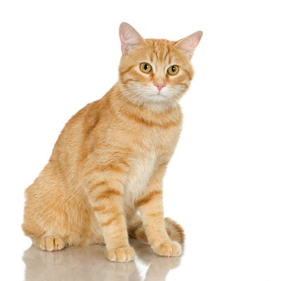Fleas are the most common cat allergy.