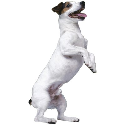The Parson Russell terrier enjoys being challenged mentally and physically.