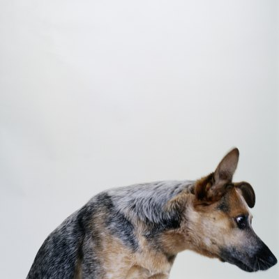 Cattle dogs were bred to herd all day.
