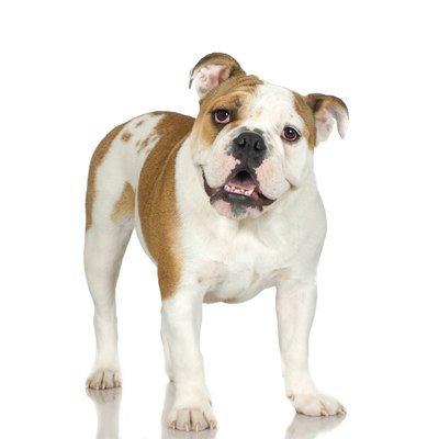 Today's English bulldog is much smaller than the original.