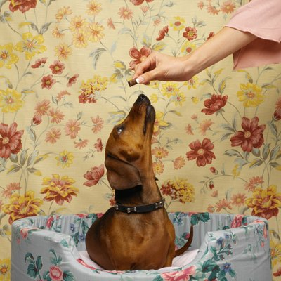 Your dachshund's nose is key to teaching tricks.