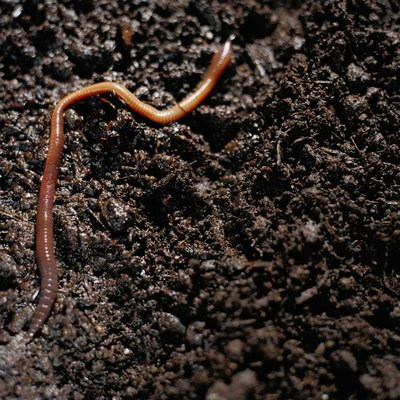 Earthworms can create commercially valuable compost from organic waste (see References 1).
