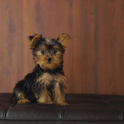 Yorkie puppies can be trimmed regularly or you can allow their hair to grow long.