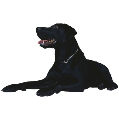 The flat-coated retriever is the black version of the golden retriever.