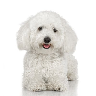 Bichons are naturally cheerful and playful dogs.