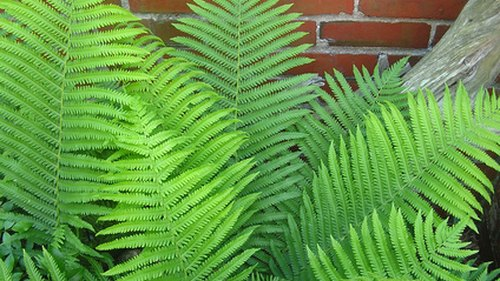 <p>Many types of ferns grow without benefit of abundant sunlight.</p>