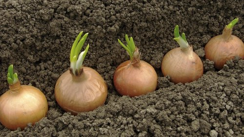 <p>Plant vegetables that like to sprawl out, including onions, cucumbers and yellow squash in a separate garden</p>