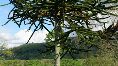 <p>Monkey Puzzle trees grow in forests of southwestern Argentina.</p>