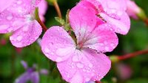 <p>Ivy leaf geraniums bloom in whites, pinks, reds and into deep purples.</p>