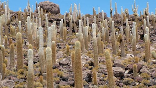 <p>Cardon cactus grow across arid regions of Argentina.</p>