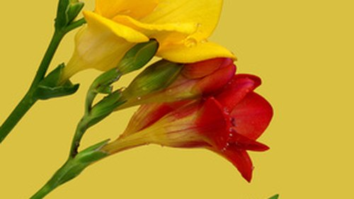 <p>In the language of flowers, yellow freesias connote friendship while white freesias mean innocence.</p>