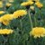 Does Dandelion Root Cause Constipation?