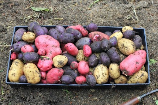 Plant Heirloom and Fingerling Potatoes (Especially If You're a Beginner)