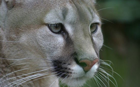 Pumas inhabit the montane forest, canyonland and desert habitats fringing the Colorado's length.