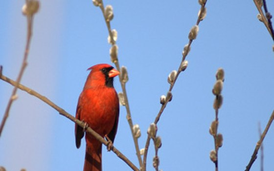 The northern cardinal is not only the state bird, but a popular state emblem as well.