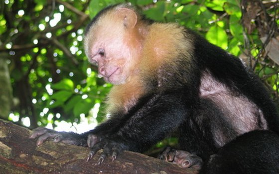 The white-faced cappuchin is one of four species of monkeys in the Monteverde Cloud Forest.