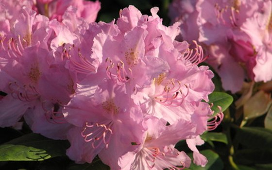 Free tours of the Isabella Plantation in London's Richmond Park show off the rhododendron collection.