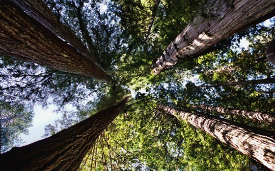 Some redwoods are 2,000 years old.