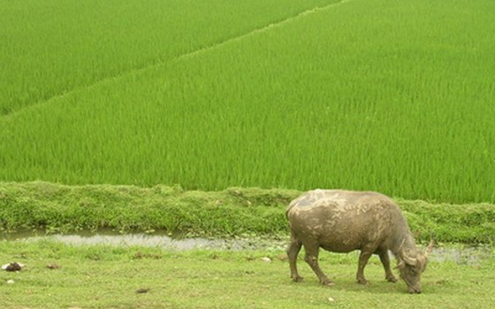 Rice fields are a prominent feature of Vietnam's landscape.