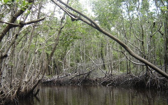 Mangrove trees thrive in southern Florida.