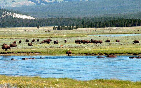 Yellowstone National Park is a world-famous wildlife-watching destination.