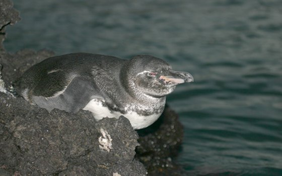 The Galapagos Penguin is the world's most rare penguin.