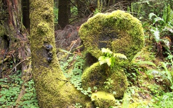 The Northwest coastal forest is partly defined by enormous trees and carpets of ferns and moss.