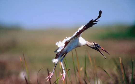 Campers, hikers and birders may glimpse an endangered wood stork at Matanzas State Forest.