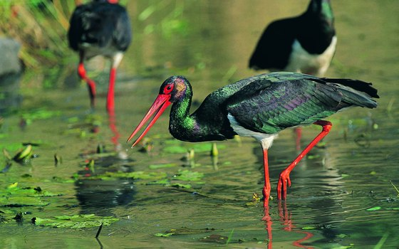 The black stork is one of hundreds of birds native to Kruger.