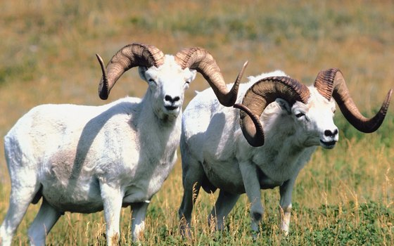 Dall sheep graze in high mountain pastures.