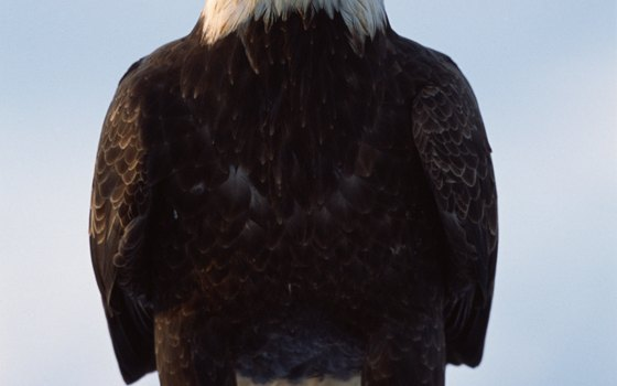 See bald eagles on the Valley of the Eagles Alaska nature tour.