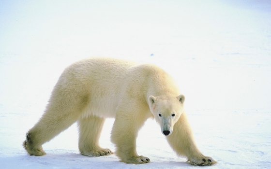 Polar bears roam Siberian coastal tundra, offshore islands and sea ice.