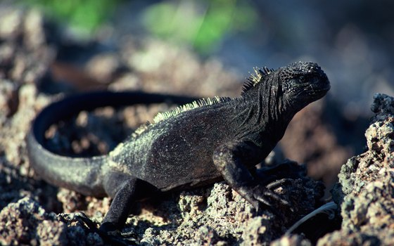 Marine iguanas exist only in the Galapagos Islands.