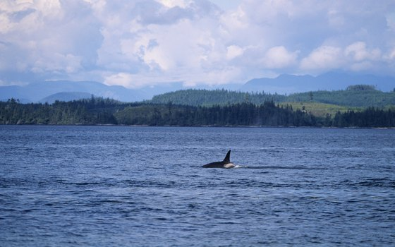 Orcas prowl the coastal fjords and straits of British Columbia.