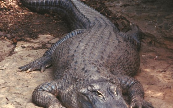 Alligators are frequently spotted during airboat rides.