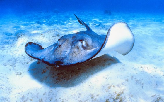 Stingrays abound in the waters off Peanut Island.