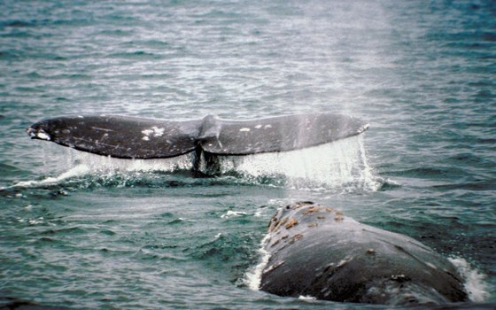 Gray whales come right up to boats in Scammon's Lagoon in Baja.