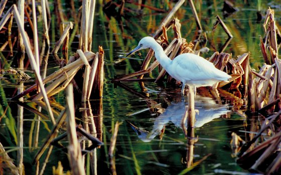 Egrets are one of many bird species found in the Everglades.