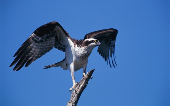 It's not uncommon to spot an osprey while visiting Stump Pass Beach State Park.