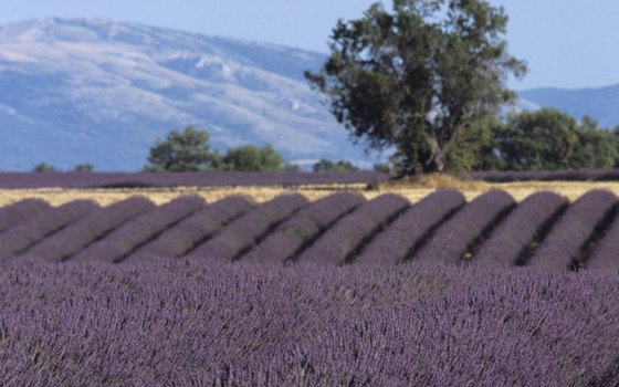 Provence is known for its vast lavender fields.
