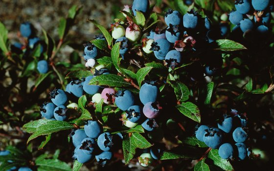 Blueberry picking is available in Shelby County.